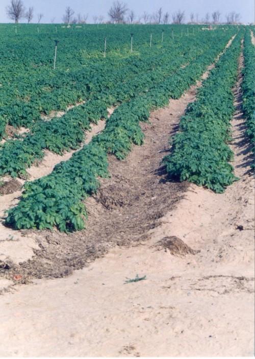 גידול תפוחי אדמה בריר 2000